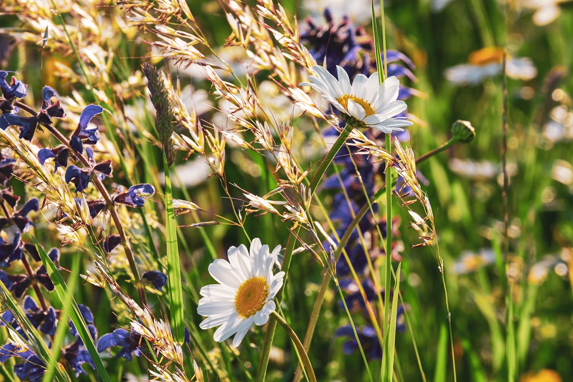 fleurs des champs d'Ardèche