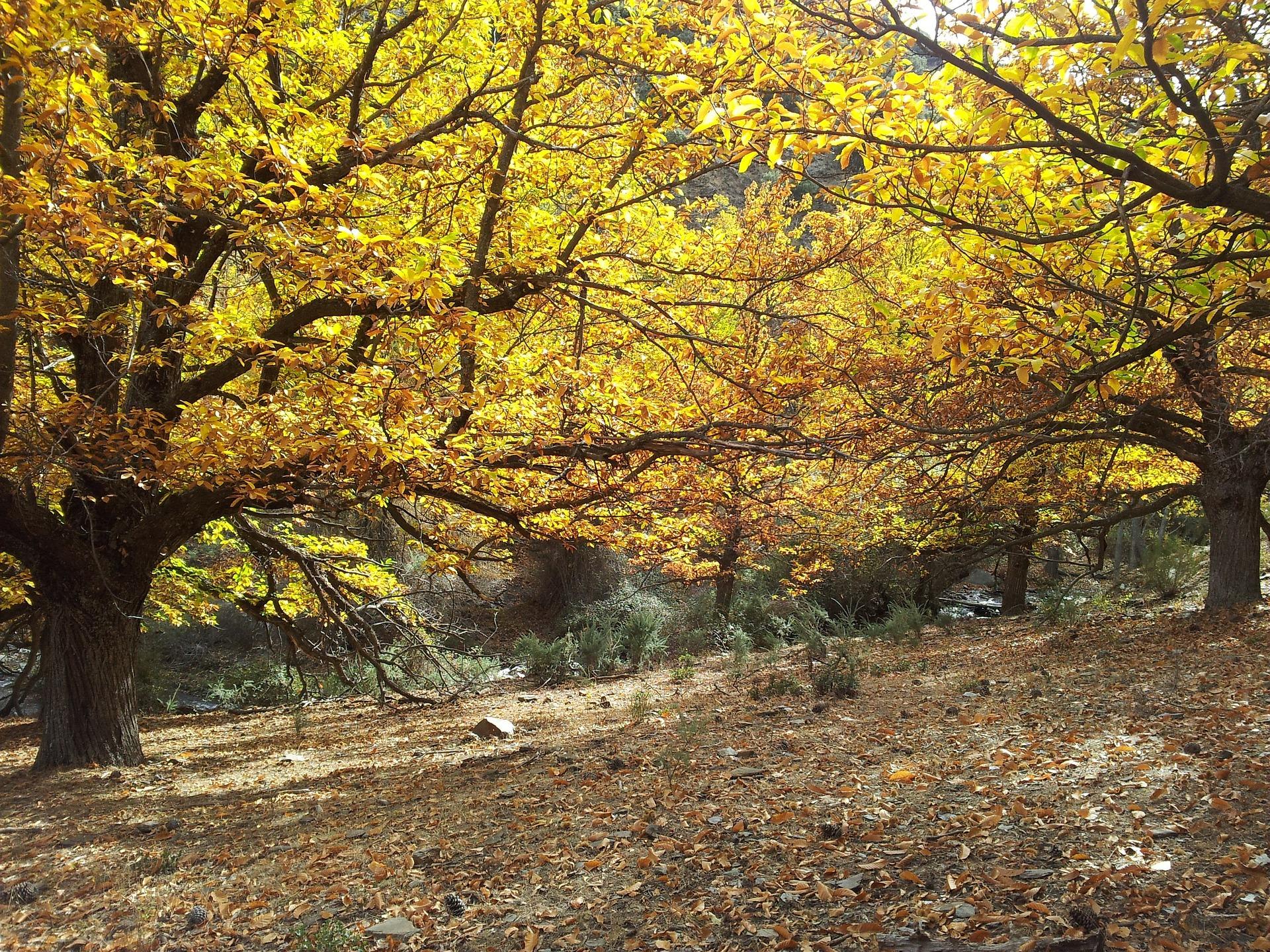 châtaigneraie, Ardèche Buissonnière événement les Castagnades
